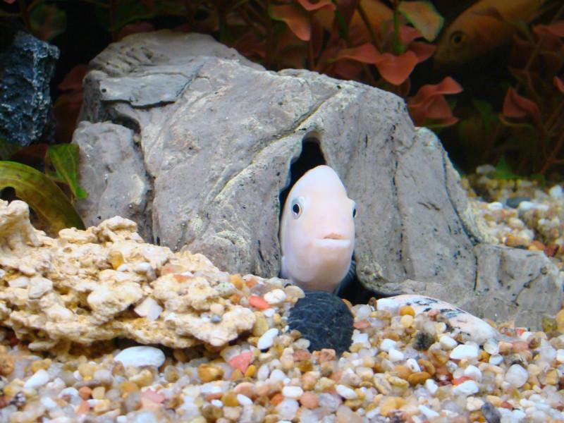 Аквариумные рыбки - малави