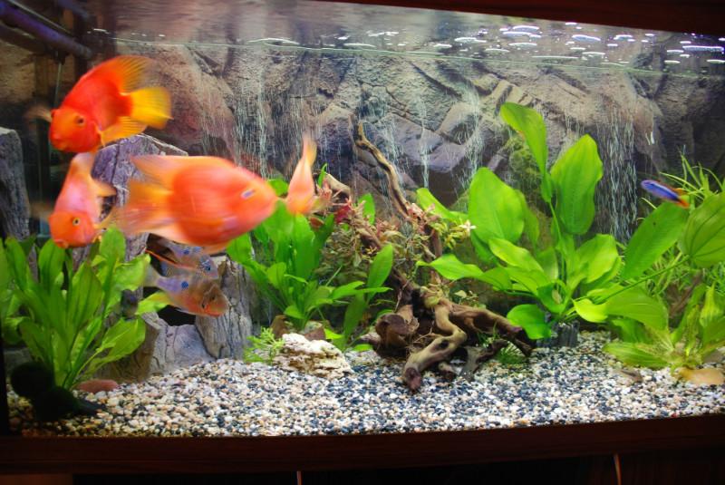 аквариумные рыбки - попугаи