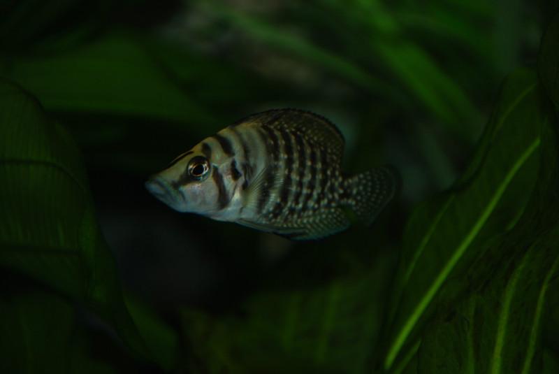 Аквариумные рыбки - кальвус